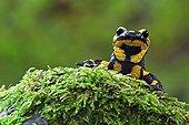 Speckled Salamander on foam France