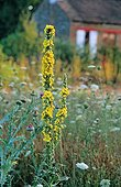 Common Mullein in bloom at the Garden of Sauveterre Creuse