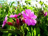 Red campion in bloom Aubrac France