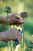 Blessed Milkthistle harvest Sauveterre garden France