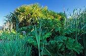 Aquatic plants in Beauregard Florilegium France ; Japanese iris 'Gei-sho-iu'