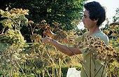 Woodland angelica seeds harvest Sauveterre garden