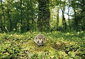 Hedgehog walking on moss in undergrowth France