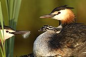 Great Crested Grebe (Podiceps cristatus) parent giving feather to chick