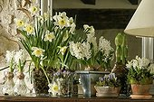 Spring bulb forcing in vases ; Narcissus 'Ice Follies' and Crocus 'Violet Queen'