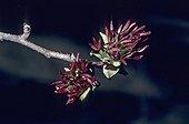 Inflorescence de Parrotie de perse