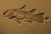 Coelacanth Fossil Germany ; Coelacanths thought to be extinct since Cretaceous period until Latimeria chalumnae found in 1938 off coast of South Africa.