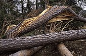 Pine twisted by the storm close to the Pheasantry France