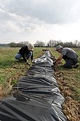 Plastic mulch for hedge planting