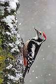 Middle spotted woodpecker on a trunk under snow Switzerland