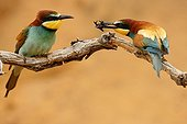 Male European bee-eater offering a bee to its female