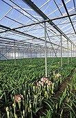 Culutre d' Amaryllis under greenhouse Netherlands