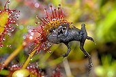 Young russet-red frog trapped by a drosera France