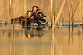 Black-naked grebes in the evening light Dombes France