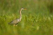 Purple heron stalking near a pond Dombes France