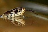 Portrait of a Grass snake Switzerland