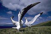 Parade nuptiale d'Albatros hurleurs sur les Iles du Crozet
