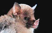 Portrait of an Insular Single-leaf Bat Guadeloupe