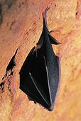 Greater Horseshoe Bat hibernating in a yellow-earth career ; Near the city of Roussillon