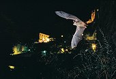 Mouse-eared Bat flying in front of the village of Sisteron