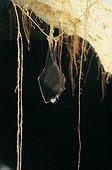 Lesser Horseshoe Bat hibernating suspended at a root