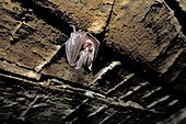 Young Lesser Horseshoe Bat suspended on a barn ceiling