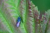 Cuckoo wasp posing on a leaf