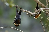 Madagascan Flying Fox suspended on tree branches ; Area of Moramangue.  The Malagasy Flying Foxes are along the day suspended to the branches and will nourish fruits at night. They are essential for the dissemination of seeds of the fruit trees, and thus for reforestation.