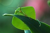 Hooded Mantis on a leaf Costa Rica