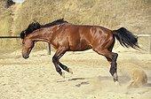 Cheval de selle se défoulant et sautant dans le sable France ; Localité : Quiberon