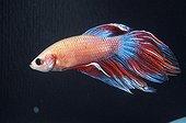 Male Fighting fish swimming