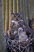 Great Horned Owl with young in nest in Saguaro Arizona USA
