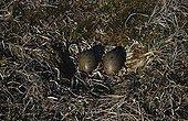 Pomarine skua eggs in nest