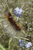 Caterpillar of Garden tiger climbing on a stem France