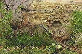 Bark beetle galleries on a trunk Bialowieza Poland