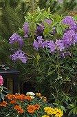 Rhododendron 'Roseum Elegans' on a garden terrace