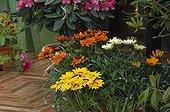 Gazanias in bloom on a garden terrace