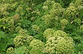 Wild Angelica in bloom Iceland
