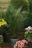 European fan palm on a garden terrace