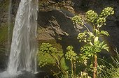 Wild Angeliques in front of Seljalandsfoss falls Iceland