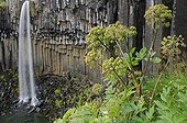 Wild Angelicas in front of Svartifoss falls Iceland
