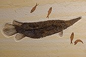 Fossil Gar with Knightia Green River formation Wyoming USA ; Fossil Lake<br>Thompsen Ranch<br>Lincoln county