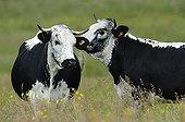 Vosgienne cows Lorraine France