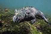 Marine Iguana feeding on green algae underwater Galapagos ; World's only lizard which feeds in the ocean