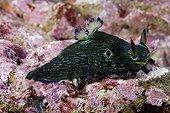 Tiger Nudibranch Galapagos ; eats other nudibranch sea slugs