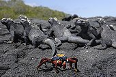 Sally Light Foot Crab and Marine Iguanas Galapagos Islands