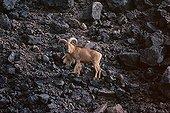 Male Barbary Sheep Sahara Termit massif Niger