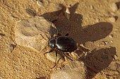 Typical saharian Tenebrionid beetle Sahara Niger
