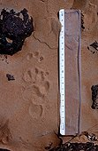 Track of Honey Badger in the sand Tenere region Sahara Niger