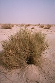 Burrow of cape Hare under Panic grass Tenere region Niger ; Under herbaceous plant.